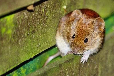 Hantavirus – Vorsicht bei der Gartenarbeit